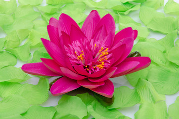 Purple water lily flower surrounded by green petals