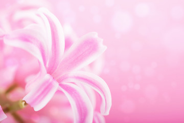 pink hyacinth flower background