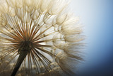 Fototapety big dandelion on a blue background