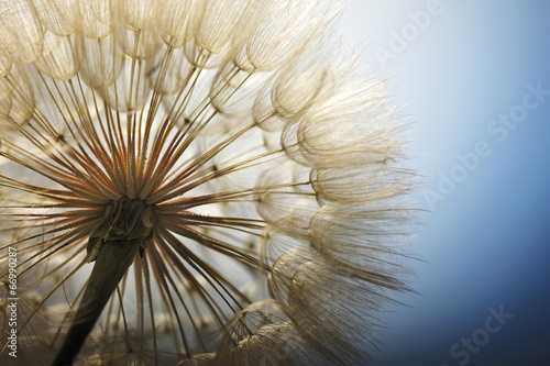 big dandelion on a blue background - 66990287