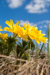 Yellow flowers of Adonis