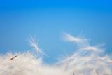 Fototapeta Dandelion fluff on a blue