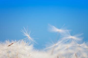 Dandelion fluff on a blue
