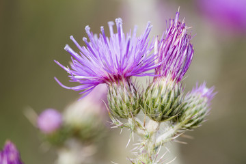 Close-up of purple knapweed centaurea
