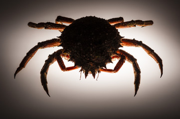 Silhouette, European spider crab, backlighting, stealth, forerun