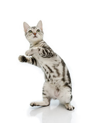 Kiiten American Shorthair is standing with two legs