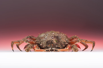 European spider crab, pink, orange, isolated, crustacean, shellf