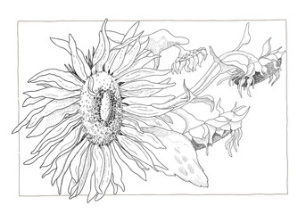 Sunflower illustration in black and white