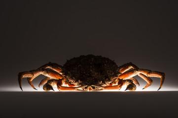 Silhouette, European spider crab, stealth, mystery, dark, suspic