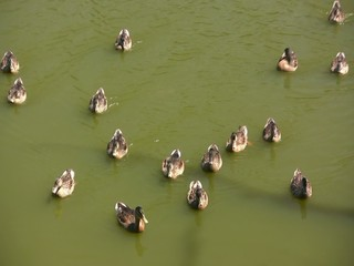 Flock of mallards (Anas platyrhynchos) on a pond
