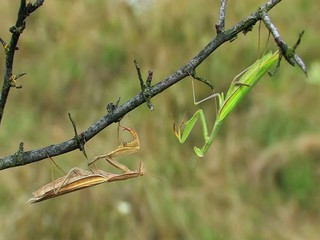 Two praying mantises (Mantis religiosa) fighting on a twig