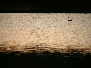 Great crested grebe (Podiceps cristatus) at sunset