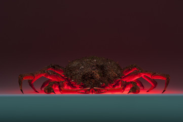 European spider crab, breaching, crustacean, shellfish, red, dar