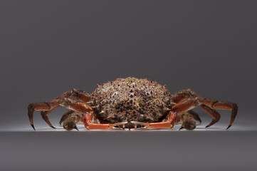 European spider crab, crustacean, shellfish, seafood, copy space