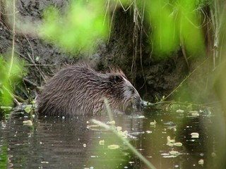 European beaver (Castor fiber) eating twig