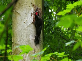 Black woodpecker (Dryocopus martius) feeding offspring