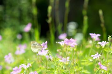 モンシロチョウと花