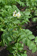 Blossoming potatoes (Solanum tuberosum L. )