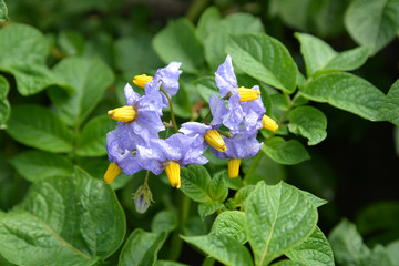 Potatoes flowers (Solanum tuberosum L. )
