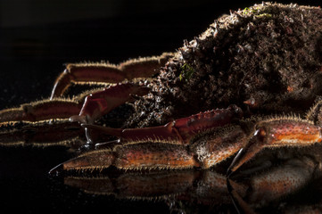 European spider crab, luxury, reef imitation, black, appetizing,