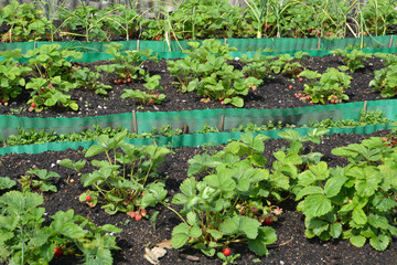 Beds with strawberry on a garden site