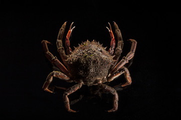 European spider crab, luxury, black, appetizing, shellfish, seaf