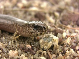 Slow worm (Anguis fragilis) showing tongue