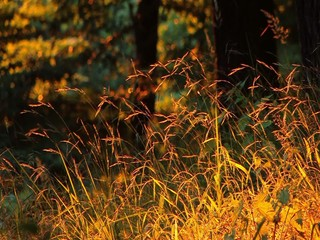 Golden grass in forest at sunset