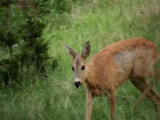 European roe deer (Capreolus caprelous)