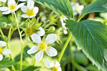 blooming strawberries