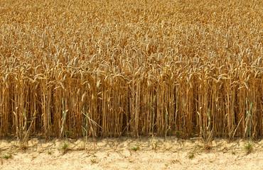 Erntereifes Getreidefeld