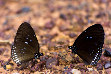 Euploea core butterflys gathering water on the rock floor