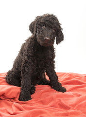 Brown Labradoodle Looking