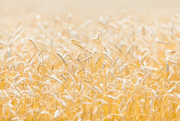 Close up of field of gold and ripe rye