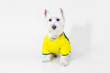 Brazilian west highland white terrier