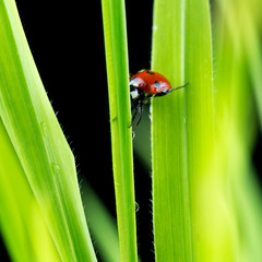 Ladybug suspended between two green leaves