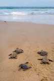 Fototapety Baby turtles making it's way to the ocean