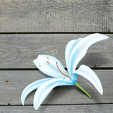 Realistic blue lily flower on boards. Vector illustration