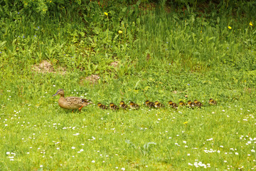 Duck mother walking with her duckling.