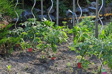 Tomatenpflanzen im Garten