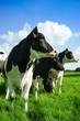 canvas print picture - Kühe blicken zur Seite