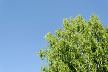 big old wide birch branches on blue sky