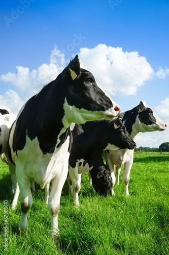 canvas print picture Kühe blicken zur Seite