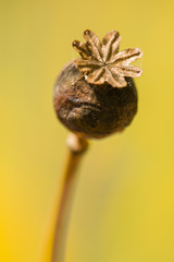 Brown Papaver somniferum seed head
