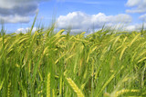 Gerste, Gerstenfeld, Landwirtschaft