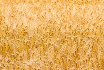 Weizenfeld im Sommerlicht