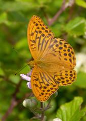 arginnide (Argynnis paphia)