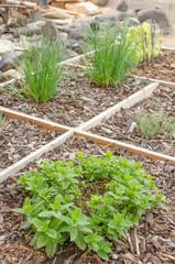 Mint on garden