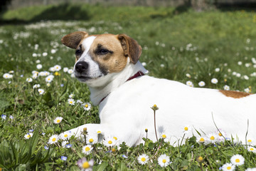 dog in flower field of yellow daisies