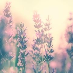 Vintage sunny lavender